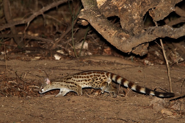 What Are The Traits Of Spotted Genet? – Everything You Need To Know