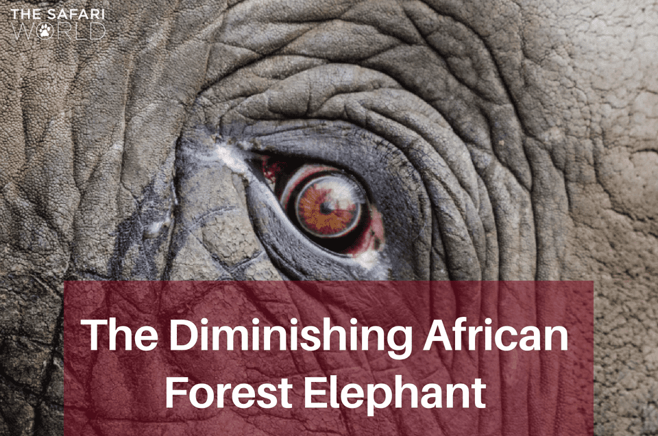 The Diminishing African Forest Elephant