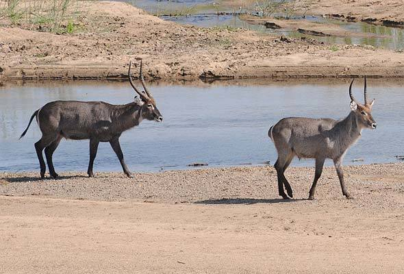 The Waterbuck: What Are They and Where to Find Them?
