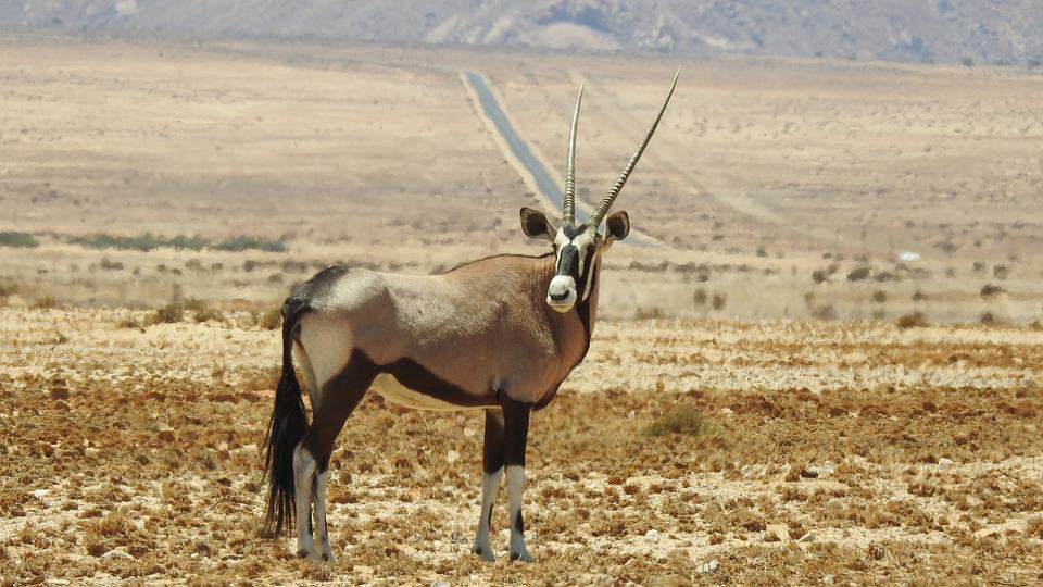 Interesting Facts About Oryx: The Antelope Look ALike