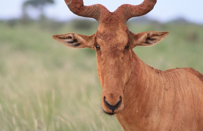 14 Things to Know About the Hartebeest