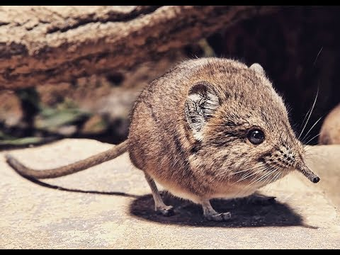 Facts About Elephant Shrew: Food, Environment, and Life