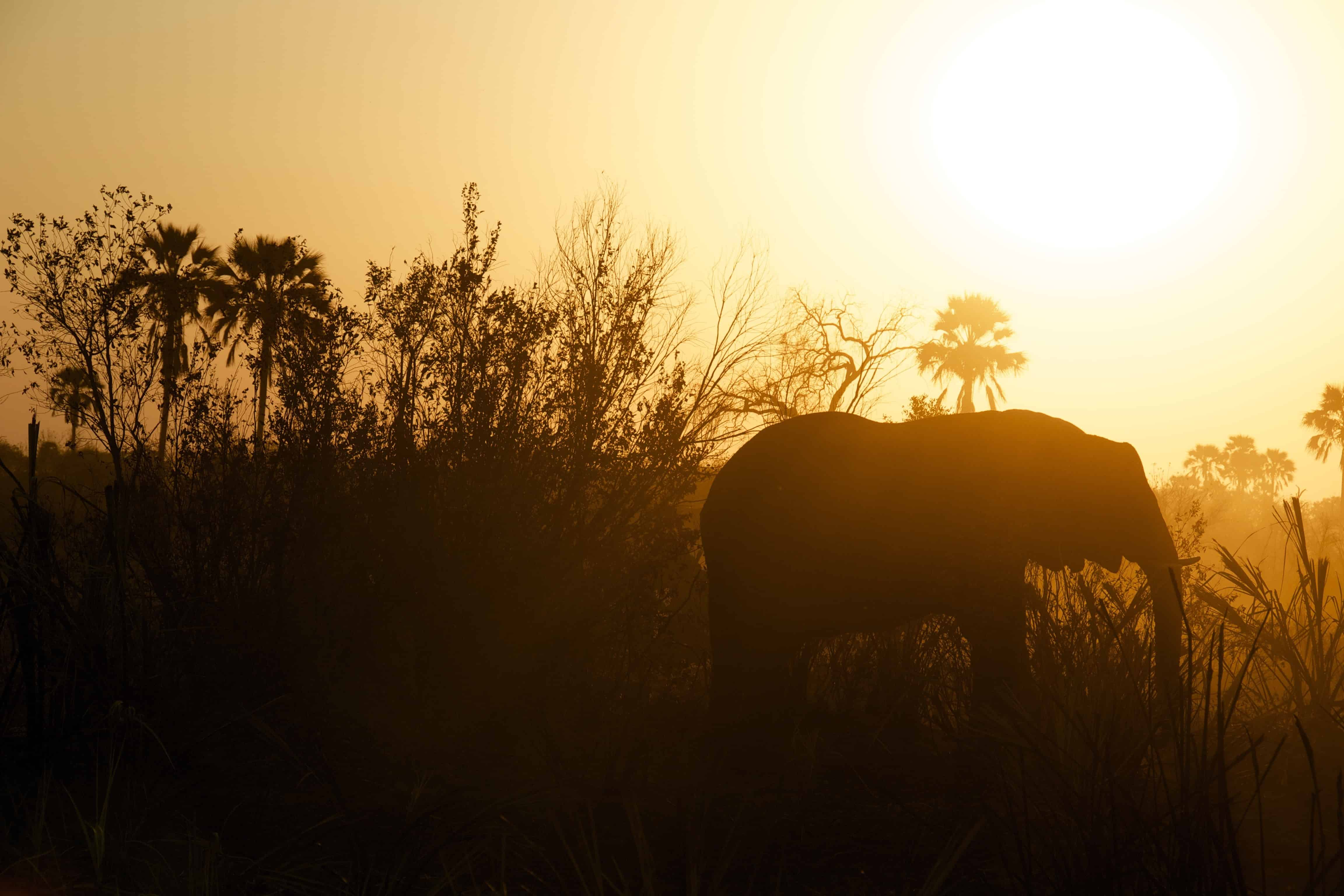 silhoutte of an elephant at sunset