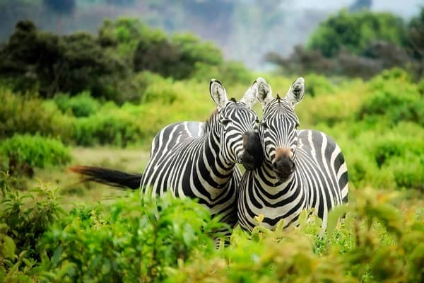 2 zebras at kenya safari