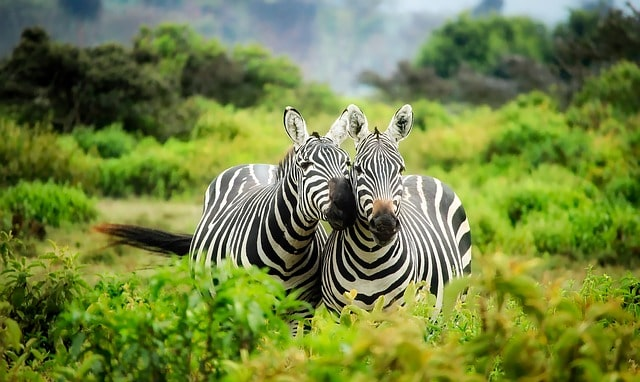 kenya zebra in african safari tours